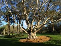 Een grote boom Royalty-vrije Stock Foto