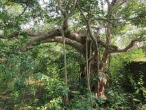 Een grote boom in de wildernis Stock Afbeeldingen