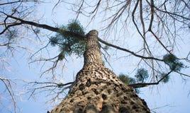 Een grote boom die rek aan de hemel Royalty-vrije Stock Foto's