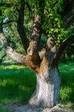 Een grote Boom in een Tuin royalty-vrije stock fotografie