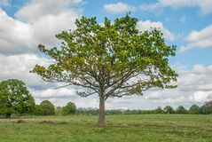 Een grote boom met een achtergrond van hemel in Richmond Park royalty-vrije stock fotografie