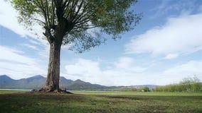 Een grote boom met een bergmening in een zonnige dag stock footage