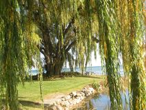 Een grote boom op de kust Royalty-vrije Stock Afbeeldingen
