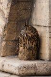 Een grote bruine eared uil zit op een oude gele muur van de zandsteensteen Bubobubo, Europees-Aziatische Eagle-uil stock foto