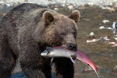 Een grote bruine wildernis draagt grijze ursus visserijzalm stock fotografie