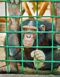 Een grote chimpansee Royalty-vrije Stock Foto's
