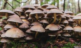 Een grote cluster van wilde paddestoel, giftige paddestoelen stock fotografie