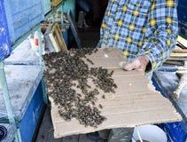 Een grote congestie van bijen op een blad van karton Het zwermen van de bijen De bij van de honing Stock Fotografie