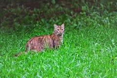 Een grote die gestreepte katkat door weelderig groen gras wordt omringd royalty-vrije stock afbeeldingen