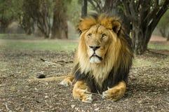 Een grote die leeuw in Zuid-Afrika wordt gefotografeerd Royalty-vrije Stock Foto's