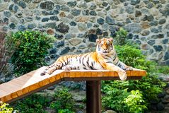 Een grote en tevreden tijger zonnebaadt in de zon, stock foto's