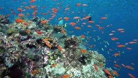 Een grote ertsader met zeer vele verschillende vissen stock footage