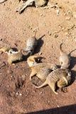 Een grote familie meerkat is in een dierentuin Stock Foto