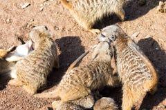 Een grote familie meerkat is in een dierentuin Royalty-vrije Stock Foto's
