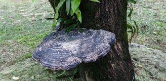 Een grote Ganoderma Royalty-vrije Stock Foto