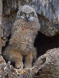 Een Grote Gehoornde Jonge uil die zich in Nest bevinden Stock Afbeelding