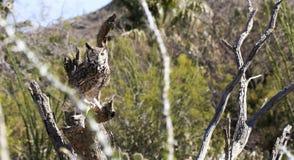 Een grote Gehoornde Uil in de Woestijn Sonoran Royalty-vrije Stock Afbeelding