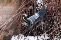Een grote grijze reiger vloog over het bevroren meer Royalty-vrije Stock Afbeelding