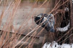 Een grote grijze reiger vloog over het bevroren meer Royalty-vrije Stock Foto
