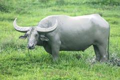 Een grote grijze stier of een buffel blijft op gras en ziet aan me en door kraag, kabel, lood gezien Stock Fotografie
