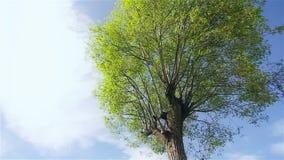 Een grote groene boom in een zonnige dag stock videobeelden