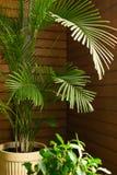 Een grote groene tropische palminstallatie in een pot in de behoudende serre Bloemen in het binnenland royalty-vrije stock foto's