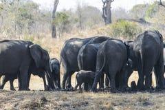 Een grote groep Afrikaanse olifanten royalty-vrije stock foto's