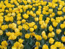 Een grote groep gele tulp bloeit stock afbeeldingen