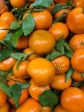 Een grote groep kleine sinaasappelen en groene wijnstokken Stock Afbeelding