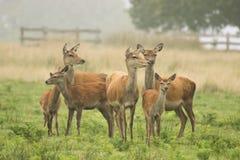 Een grote groep rode herten stock foto's