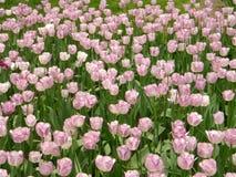 Een grote groep roze kurkuma bloeit royalty-vrije stock afbeelding