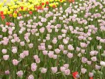 Een grote groep roze tulp bloeit royalty-vrije stock fotografie