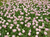 Een grote groep roze tulp bloeit stock afbeelding