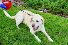 een grote hond Royalty-vrije Stock Foto's