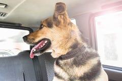 Een grote hond zit in de auto en kijkt uit het venster in de achterbank Hond die zijn tong uit plakken stock foto