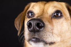 De neus van de hond Stock Foto