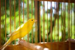 Een grote, houten vogelkooi met een gele vogel op een natuurlijke, vage achtergrond De vogel in gevangenschap De kooi voor kippen royalty-vrije stock afbeelding