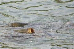 Een grote karper of andere vissen het voeden Stock Afbeeldingen