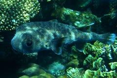 Een grote koraalvis Royalty-vrije Stock Afbeeldingen