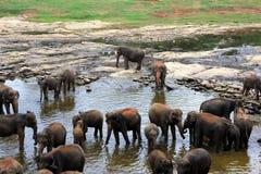 Een grote kudde van bruine olifanten baadt in de rivier Stock Foto's