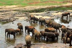 Een grote kudde van bruine olifanten baadt in de rivier Royalty-vrije Stock Afbeeldingen