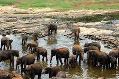Een grote kudde van bruine olifanten baadt in de rivier Stock Foto