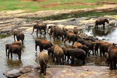 Een grote kudde van bruine olifanten baadt in de rivier Stock Fotografie
