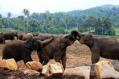 Een grote kudde van bruine olifanten tegen de achtergrond van de wildernis Royalty-vrije Stock Foto