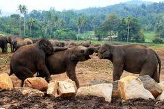 Een grote kudde van bruine olifanten tegen de achtergrond van de wildernis Stock Foto's