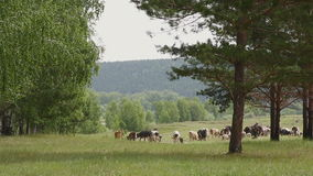 Een grote kudde van koeien met schapen die dichtbij bosrand weiden stock footage