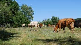 Een grote kudde van melkkoeien wordt geweid door het boslandbouwbedrijf stock footage