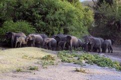 Kudde van olifanten Stock Foto