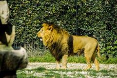 Een grote leeuw bij dierentuin Royalty-vrije Stock Fotografie