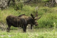 Een Grote Mannelijke Amerikaanse eland in de zomer Royalty-vrije Stock Fotografie